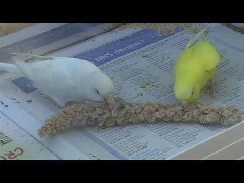 How To Care For Budgie Birds