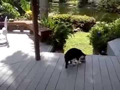 Енот кидает кота на еду