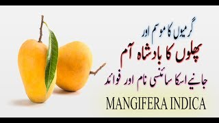 Do You Know About Of Mango Banifit AND His Science Name HINDI/URDU