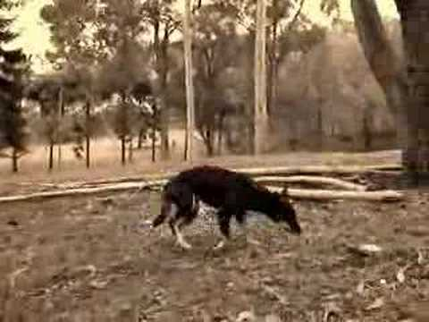 Wild Black Bush Dog Video