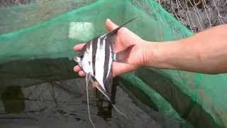 Fishing Pterophyllum altum in Atabapo