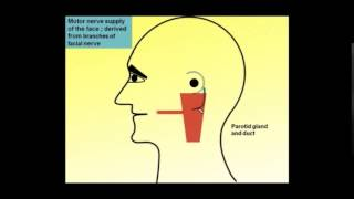 Magdy Said,Anatomy Series,PNS,Extracranial part of 7th cranial (facial nerve)