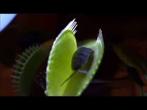 Equilibrio Carnivorous Plants Carnivorous Plant Venus