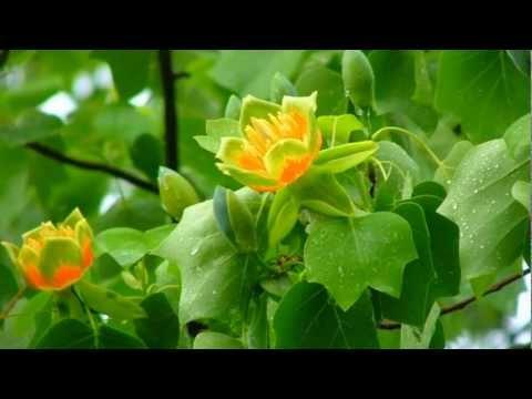 Tulip Poplar Tree,Top Video