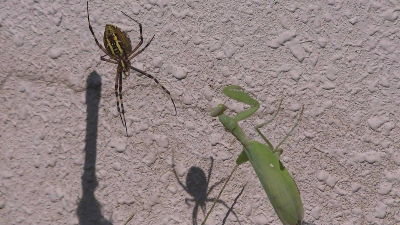 Praying Mantis Eating Spider Praying Mantis vs Spider