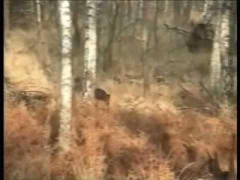 Lov divočáka - dobrá rána