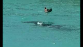 Reuzenmanta's Grote Knip Baai Curacao sept.09