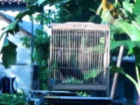 Suara Ayam Hutan Hijau  Indukan Bekisar video