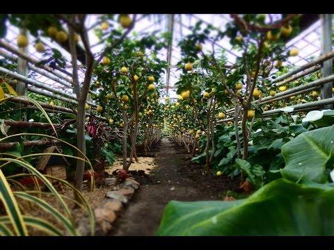 Выращивание в теплице фейхоа 99