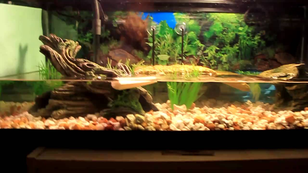 Yellow belly slider turtle tank youtube for Yellow fish tank water