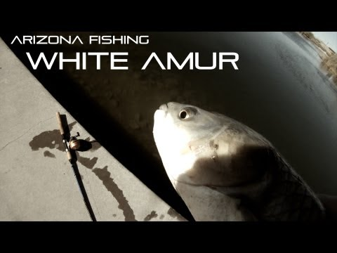 Arizona Fishing For Massive White Amur