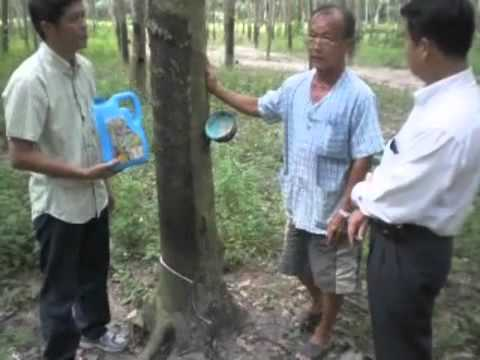 Bio Fertilizer for Rubber Trees in Thailand