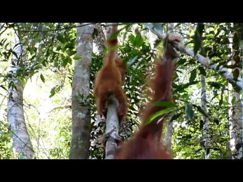 The last free live Orang Utan of the world in Bukit Lawang - Sumatra - Indonesia