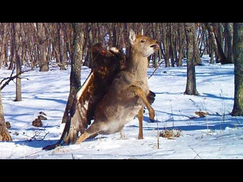 golden-eagle-attacks-and-catches-deer.html
