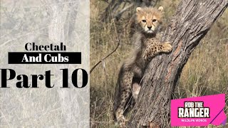 Cheetah And Cubs Part 10: Relaxing Before A Hunt