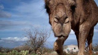 Camels in a desert storm