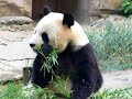 Panda eating bamboo in Beijing zoo, China