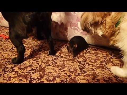 Крысы и собаки (Rats and Dogs)