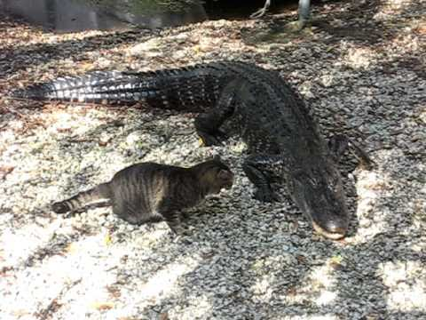 Gator VS Cat (Amazing Cat Victory)