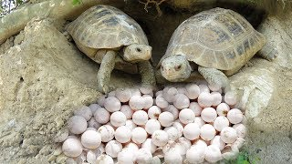 Primitive Man Found Turtle Nest N Steal Turtle Eggs - Find & Catch Family Turtle With Bow and Arrow
