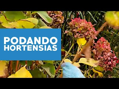 Podar videolike - Cuando podar las hortensias ...