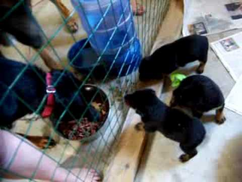 Rotty puppies Video