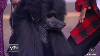 Westminster Dog Show Winner Siba | The View