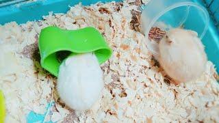 Mè Hamster TV | Một ngày của bé Chanh và Mè | Khoảnh khắc đáng yêu của 2 thành viên nhà Hamster