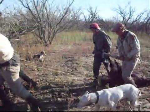 Caza de Jabali con perros en Malena.wmv