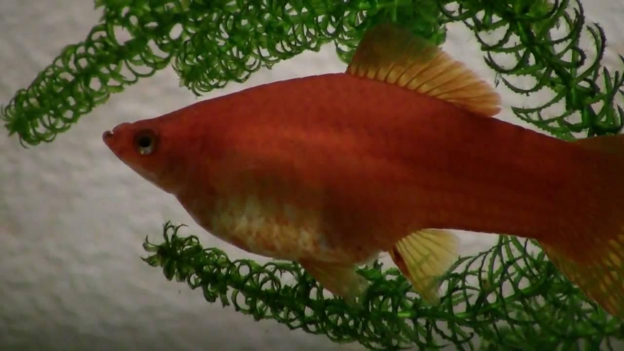 Как выглядят беременные аквариумные рыбки 76