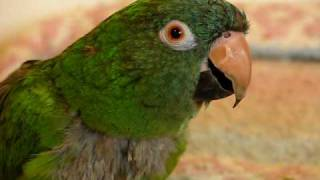 Avis The Blue Crown Conure - Talking