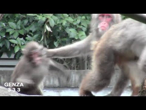 Baby monkey to be abused by everyone