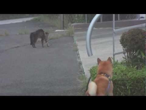 柴犬ク〜と黒猫の静かな.対決 2011 9 16 (投稿者 : ku2153 さん)