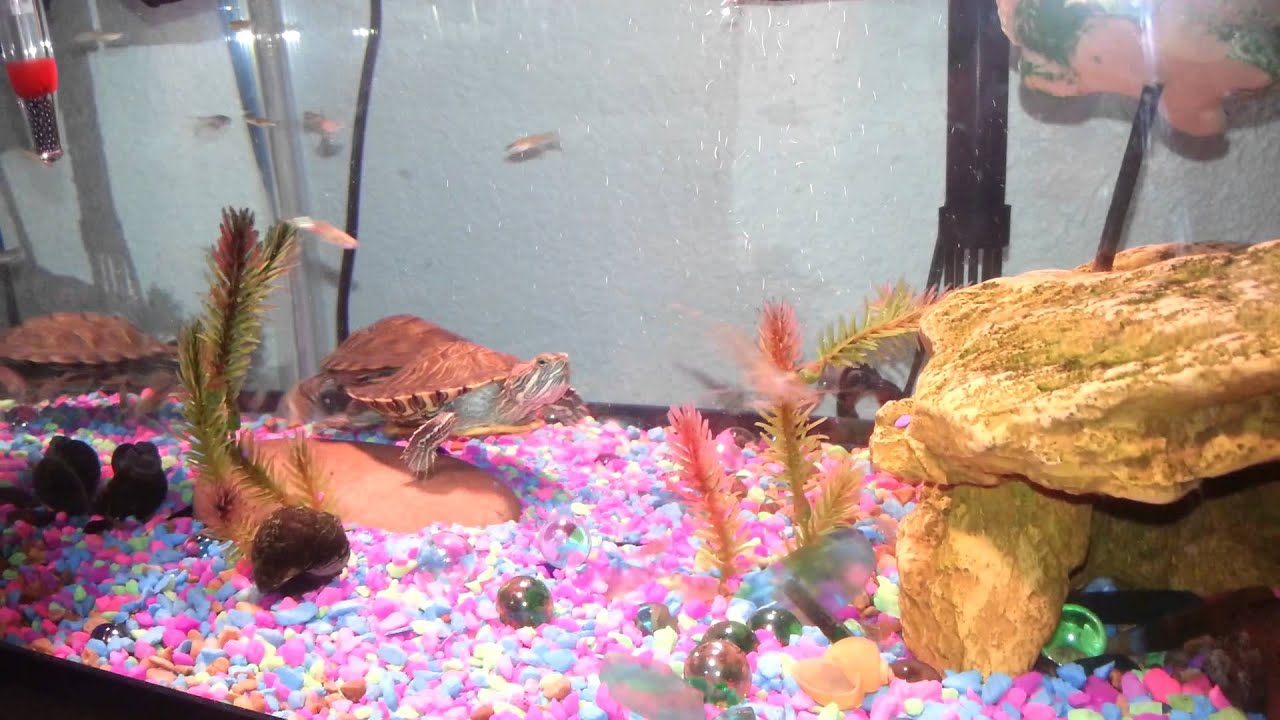 Res turtles betta fish feeder guppy shrimp snails youtube for Betta fish feeder