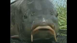 Erfolgreich angeln auf Karpfen