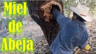 Castrando una Colmena de abejas en la Mixteca Oaxaca
