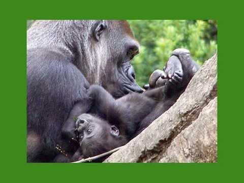 ゴリラの赤ちゃんスライドショー/厳選ver/Gorilla's baby