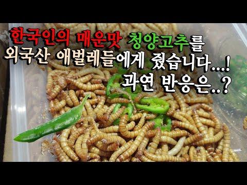 곤충도 피한다는 청양고추를 수천마리 애벌레한테 주면 과연 먹을까..?
