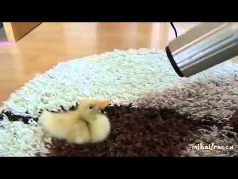 Видеоролик о позитивном домашнем утёнке