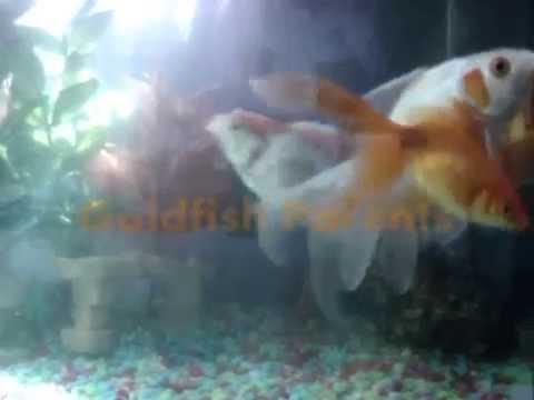 Goldfish breeding eggs - photo#10