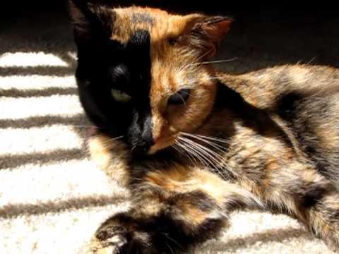 二つの顔を持つ猫Venu...