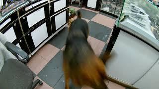 funny video gsd and malinois take leash run around