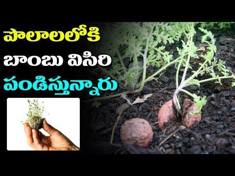 పొలాలలోకి బాంబు విసిరి పండిస్తున్నారు | Throw off the seed bomb and plant it wherever you want