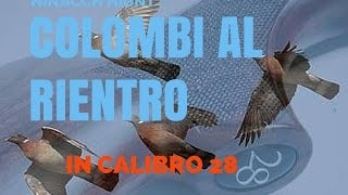 Caccia:Colombi al rientro in calibro 28-WOOD PIGEON HUNTING 28 GAUGE