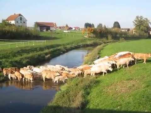 Blonde d´Aquitaine Rinderherde durchquert Fluß