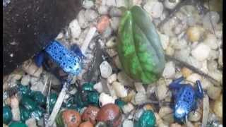 Dendrobates azureus: Poison Dart frog Presented by Deadly Tarantula Girl