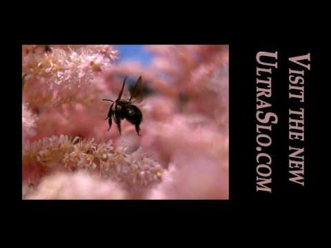 Bee hovering in UltraSlo motion @7000 FPS
