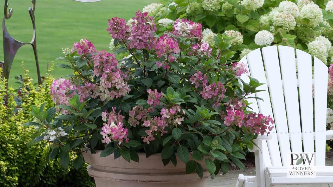 Quick Fire Hydrangea Bush Little Quick Fire® Hydrangea