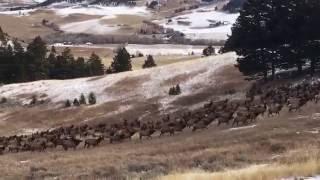 Amazing Montana Elk herd!