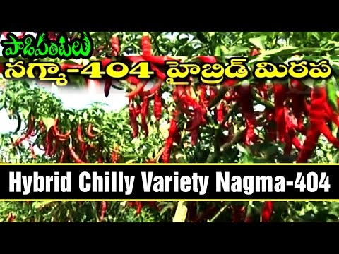 High Yielding Hybrid Chilly Variety Nagma-404 | Paadi Pantalu | Express TV